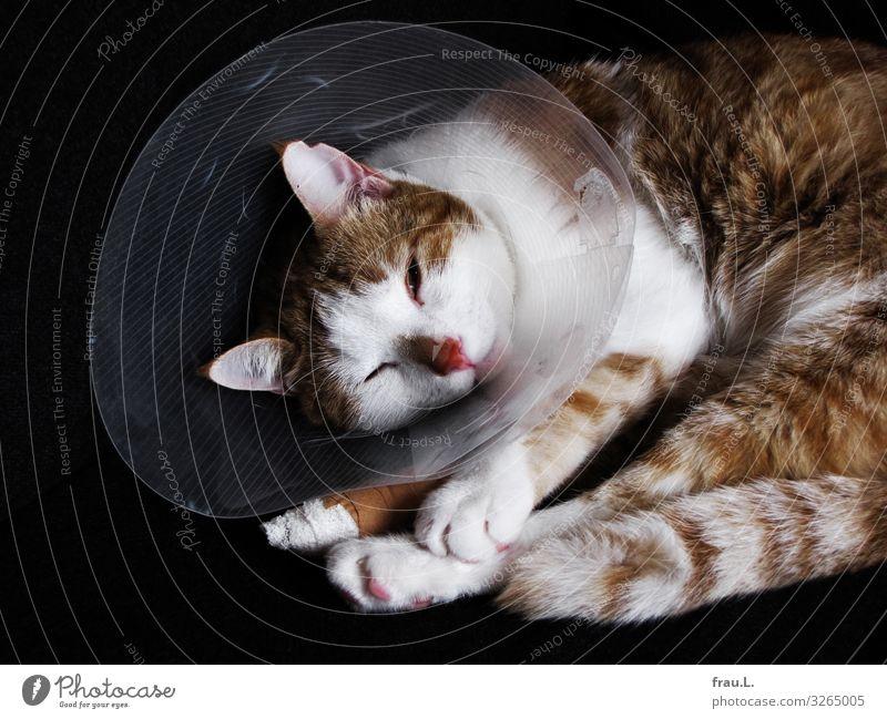 Cat Beautiful Animal Healthy Dream Lie Wait Uniqueness Domestic cat Pet Pain Paw Patient Wound Operation Spinal column