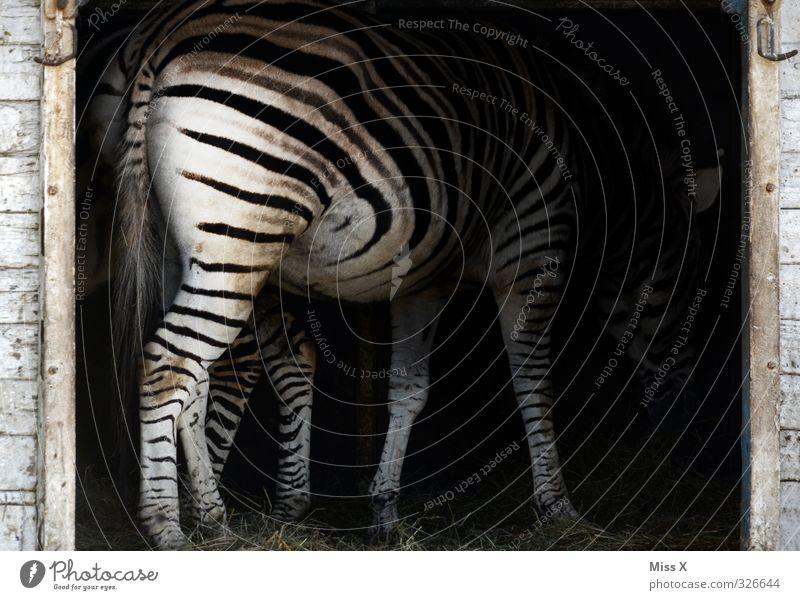zebrafish Animal Wild animal 1 To feed Black & white photo Striped Zebra Hay Pattern Deserted Animal portrait Rear view