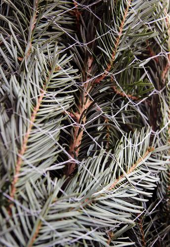 Needles in the net Christmas & Advent New Year's Eve Nature Plant Tree Fir tree Spruce Fir branch Fir needle Sign Christmas tree Fragrance Authentic Fresh