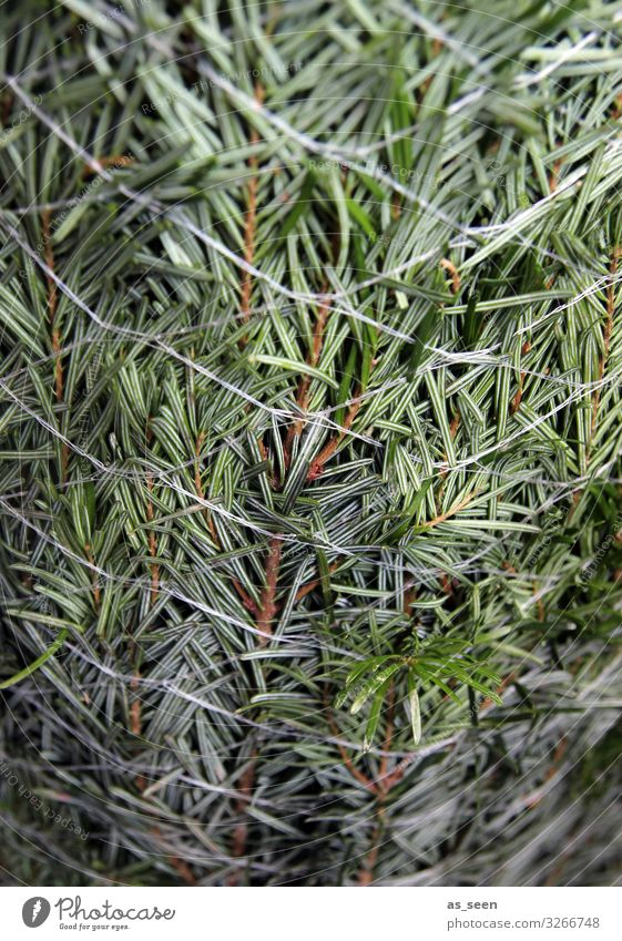 Needles in the net Christmas & Advent Plant Tree Fir tree Spruce Christmas tree Fir branch Fir needle Sign Authentic Fresh Near Natural Green Fragrance Colour