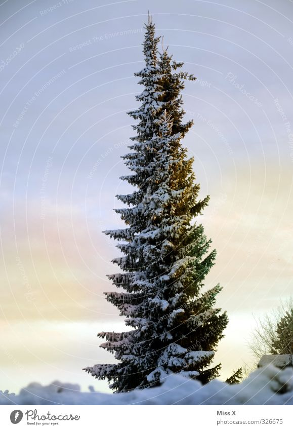 winter's day Winter Ice Frost Tree Cold Fir tree Winter mood Winter forest Winter's day Colour photo Exterior shot Deserted Copy Space left Copy Space right