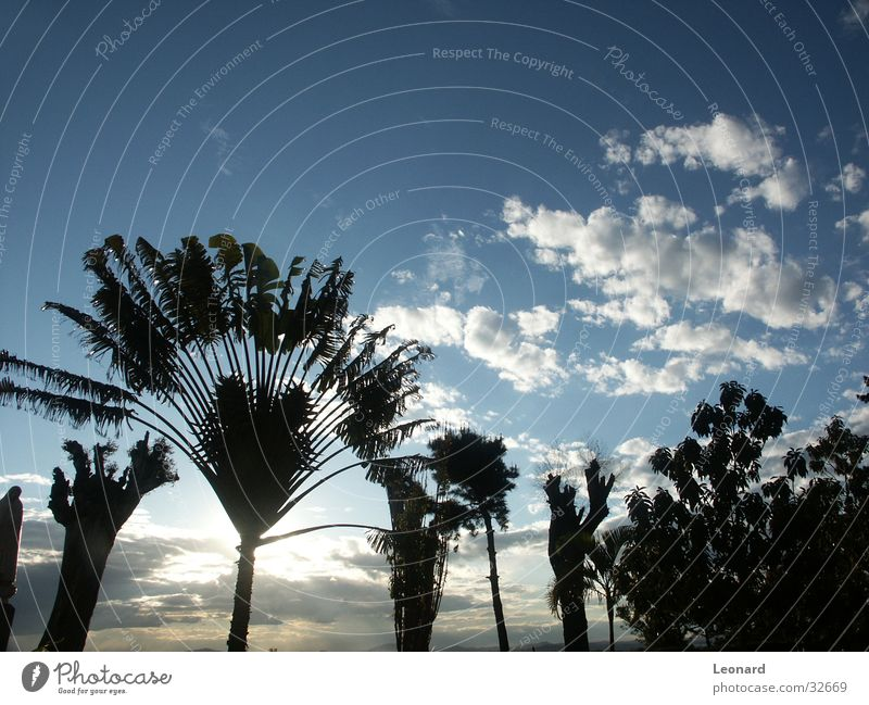 trees Tree Palm tree Plant Clouds Colour tone Africa Sky Tree trunk Silhouette
