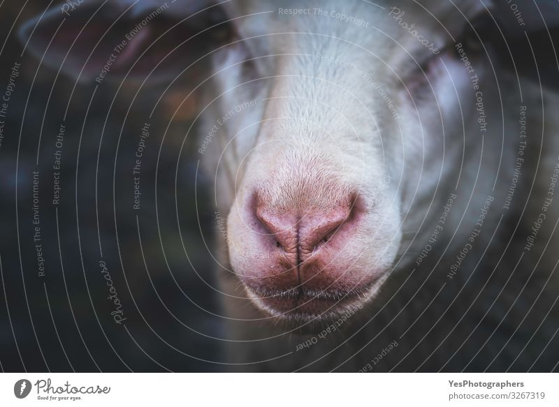 Sheep face portrait and selective focus. Red nose sheep close-up Face Nature Animal Farm animal Animal face 1 Natural Curiosity Gloomy Germany cute face
