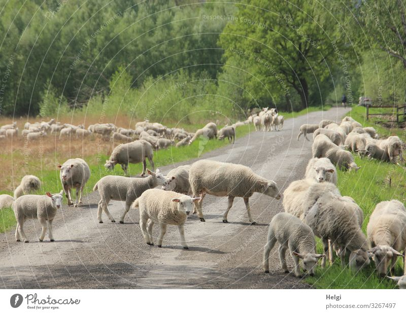Flock of sheep on the way on a village road in the moor Environment Nature Landscape Plant Animal Spring Beautiful weather Grass Bushes Bog Marsh Farm animal