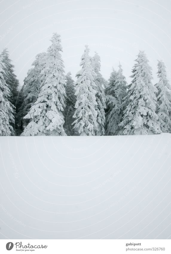 black and white grey with text space below Nature Landscape Winter Weather Bad weather Fog Snow Snowfall Plant Fir tree Forest Cold Gray White Winter forest