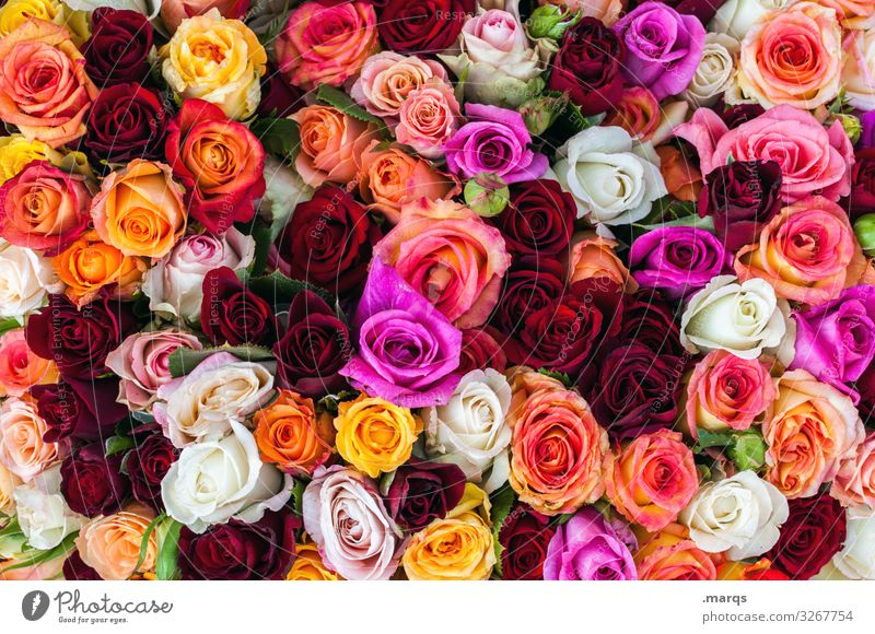 With best wishes Feasts & Celebrations Valentine's Day Mother's Day Wedding Birthday Rose Blossoming Many Yellow Orange Pink Red White Emotions Spring fever