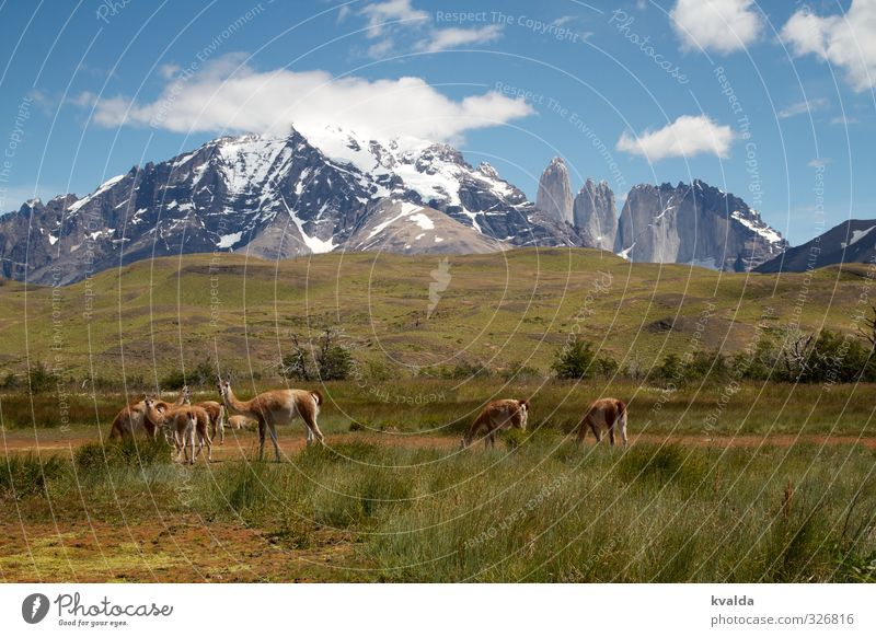 Nature Blue Green Plant Summer Landscape Animal Mountain Gray Hiking Group of animals Adventure Peak Snowcapped peak Chile South America