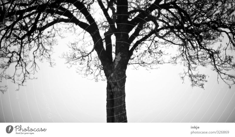 Spooky tree Autumn Winter Bad weather Fog Tree Oak tree Growth Dark Creepy Cold Loneliness Uniqueness Mysterious Change Black & white photo Exterior shot