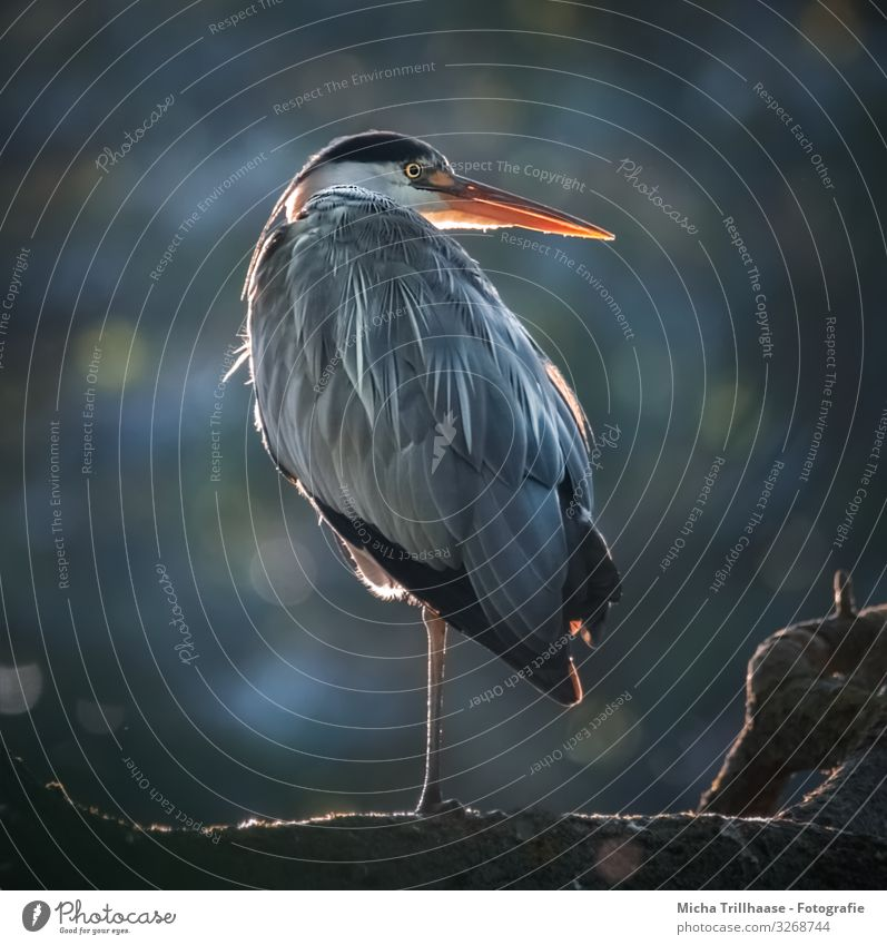 Heron against the light Nature Animal Sunlight Beautiful weather Tree Lakeside Wild animal Bird Animal face Wing Claw Grey heron Head Beak Eyes Feather Plumed 1