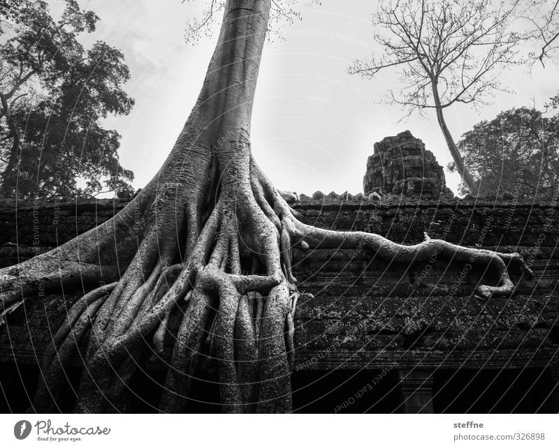 Tree Environment Exceptional Esthetic Asia Landmark Tourist Attraction Ruin Root Temple Cambodia Angkor Wat Ta Prohm temple Siem Reap