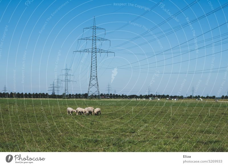 A flock of sheep on a meadow with many power poles in the background Farm animal Electricity pylon Group of animals Herd green Sheep Willow tree Blue sky