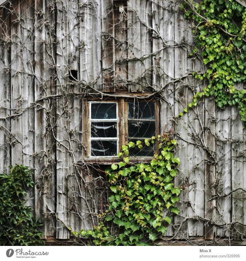 Window I Living or residing Flat (apartment) Plant Bushes Leaf Hut Growth Old Decline Transience Overgrown Ivy Virginia Creeper Tendril Barn Wooden board