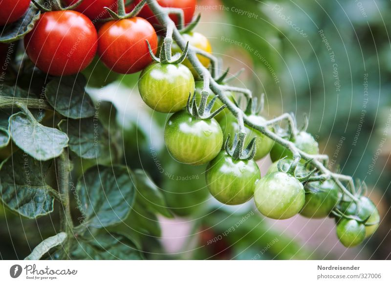 tomato season Food Vegetable Nutrition Organic produce Vegetarian diet Diet Italian Food Garden Nature Plant Summer Agricultural crop Growth Fresh Healthy Green