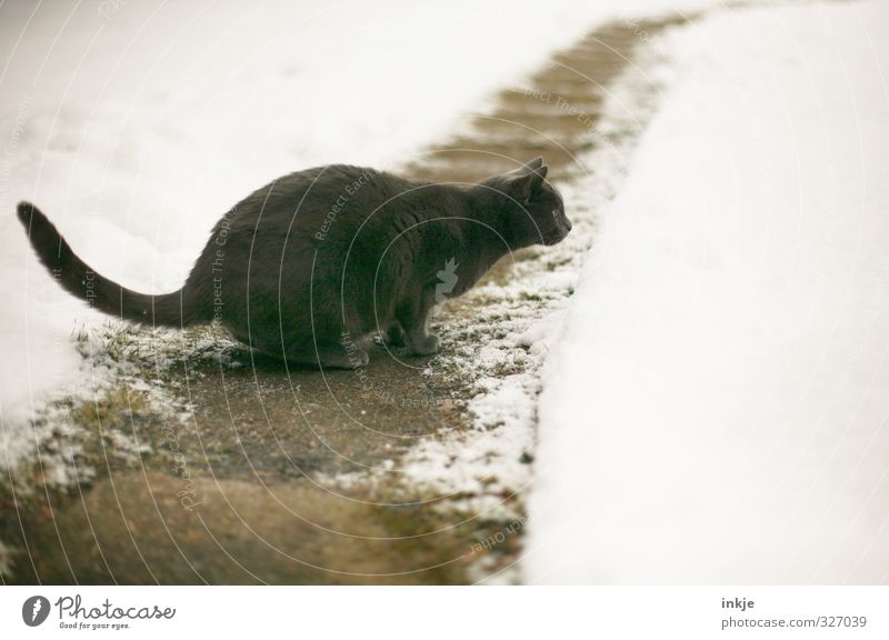 Cat Animal Winter Cold Snow Lanes & trails Jump Garden Park Observe Footpath Hunting Brave Discover Pet Watchfulness