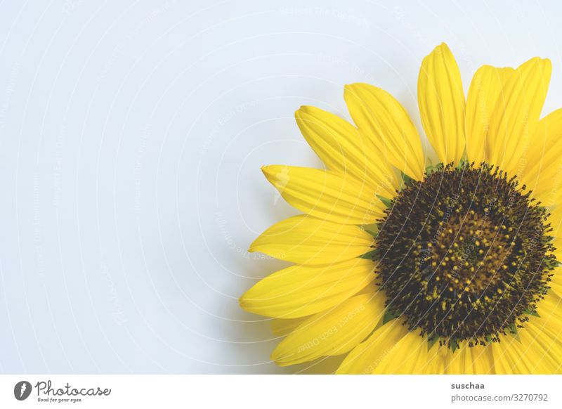 a tad of sunflower Flower Blossom Blossom leave Sunflower Summer Plant Natural Individual Bright background Yellow Detail Simple Copy Space
