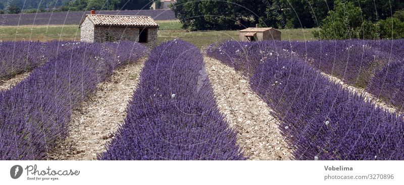 Lavender in Provence Nature Landscape Plant Summer Flower Lavender field Field Sow France Europe Multicoloured Gray Violet Pink Colour photo Exterior shot