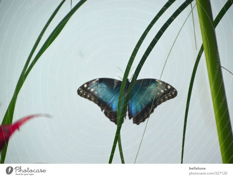 Blue butterfly Leaf Foliage plant Exotic Animal Wild animal Butterfly Wing 1 Sit Green Red Black White Hiding place Hide Colour photo Subdued colour