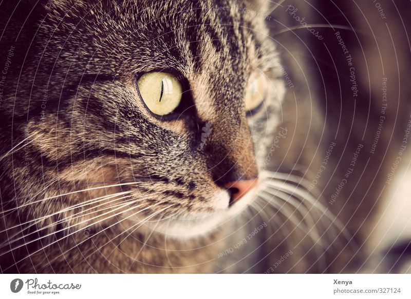 Lola Animal Pet Cat 1 Observe Curiosity Brown Warm-heartedness Calm Meow Eyes Watchfulness Alert Detail Copy Space right Day Shallow depth of field