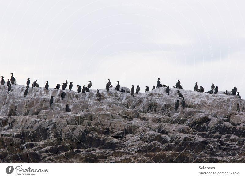 plenary Vacation & Travel Tourism Trip Environment Nature Rock Coast Ocean Animal Wild animal Bird Group of animals Flock Together Cormorant Colour photo