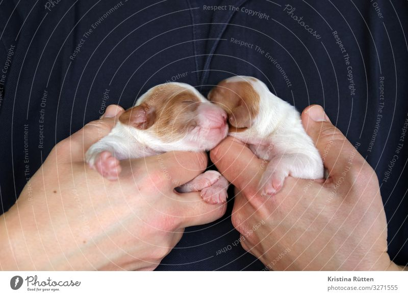 sibling puppies Masculine Hand Animal Pet Dog Animal face Pelt Paw 2 Baby animal To hold on Small Cute Puppy Newborn Helpless Blind Purebred dog