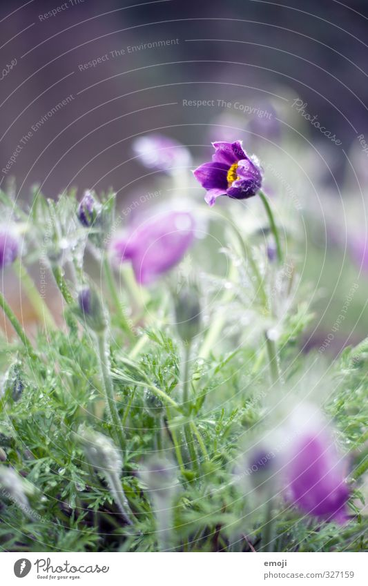 Nature Green Plant Flower Environment Spring Blossom Natural Drops of water Violet