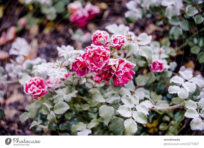Rose plant covered with hoarfrost pink Frost Hoar frost frosty Autumn Exterior shot Colour photo Close-up Plant chill Frozen Nature Subdued colour