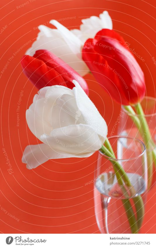 Red and white Tulips on a red background Beautiful Mother's Day Easter Birthday Adults Spring Flower Blossom Bouquet Love Bright Hip & trendy White coral red