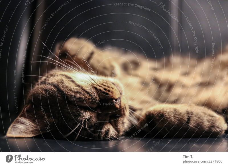 the tomcat Animal Pet Cat Animal face Paw 1 Baby animal Living or residing Contentment Sleep Sofa Domestic cat Colour photo Interior shot Deserted Evening