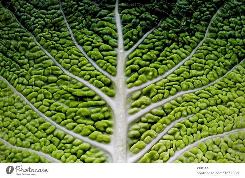 Detailed view of a savoy cabbage leaf Savoy cabbage Organic produce Vegetarian diet Diet Tree Leaf Fresh Healthy Delicious Green White Food photograph