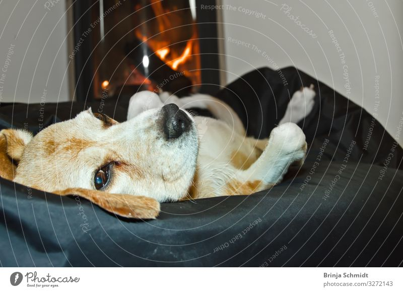 A Beagle lies comfortably in front of the oven Well-being Contentment Relaxation Calm Fireside Living room Pet Dog 1 Animal To enjoy Lie Sleep Authentic
