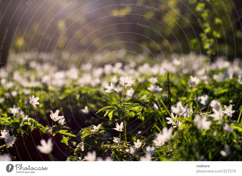 anemone meadow Environment Nature Plant Sunrise Sunset Sunlight Spring Beautiful weather Flower Wood anemone Park Forest Blossoming Illuminate Fresh Natural