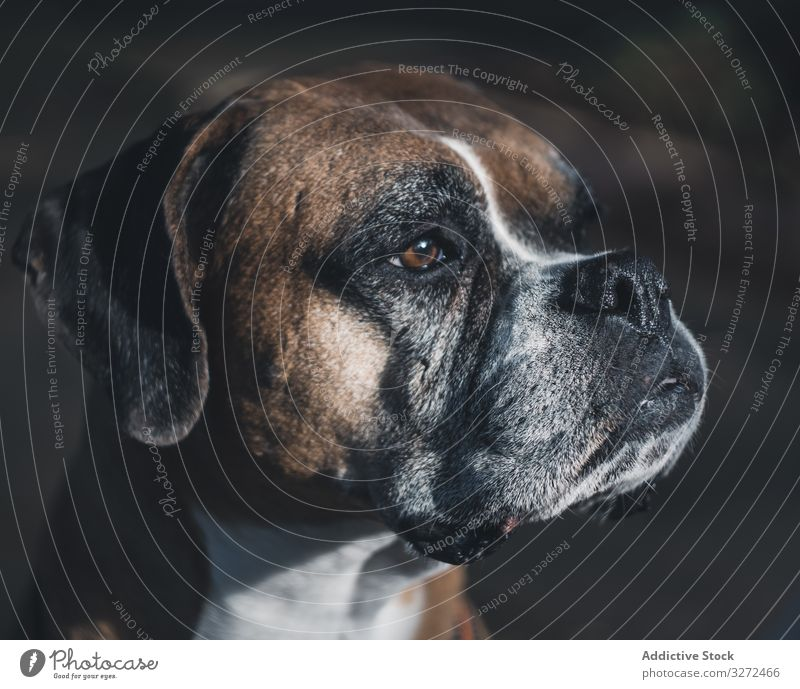 Portrait of dog spending time in street boxer portrait pet domestic breed face lifestyle animal canine vertebrate serious obedient urban mammal calm careful