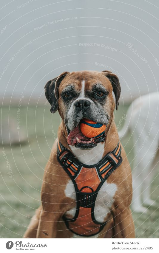 Friendly dog playing with ball in street boxer animal pet domestic lifestyle breed canine harness vertebrate obedient walk mammal stroll friendly weary strong