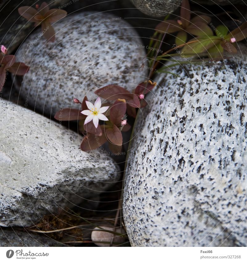 Nordic starlet Plant Animal Elements Summer Flower Bushes Wild plant Rock Stone Fragrance Firm Large Natural Curiosity Green Pink Red Black White Willpower