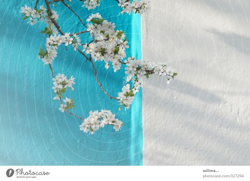 between missX crowded blue and white flowers Spring flowering twig Twig Blossom Cherry blossom Apple blossom Plum blossom Wall (barrier) Wall (building) Facade