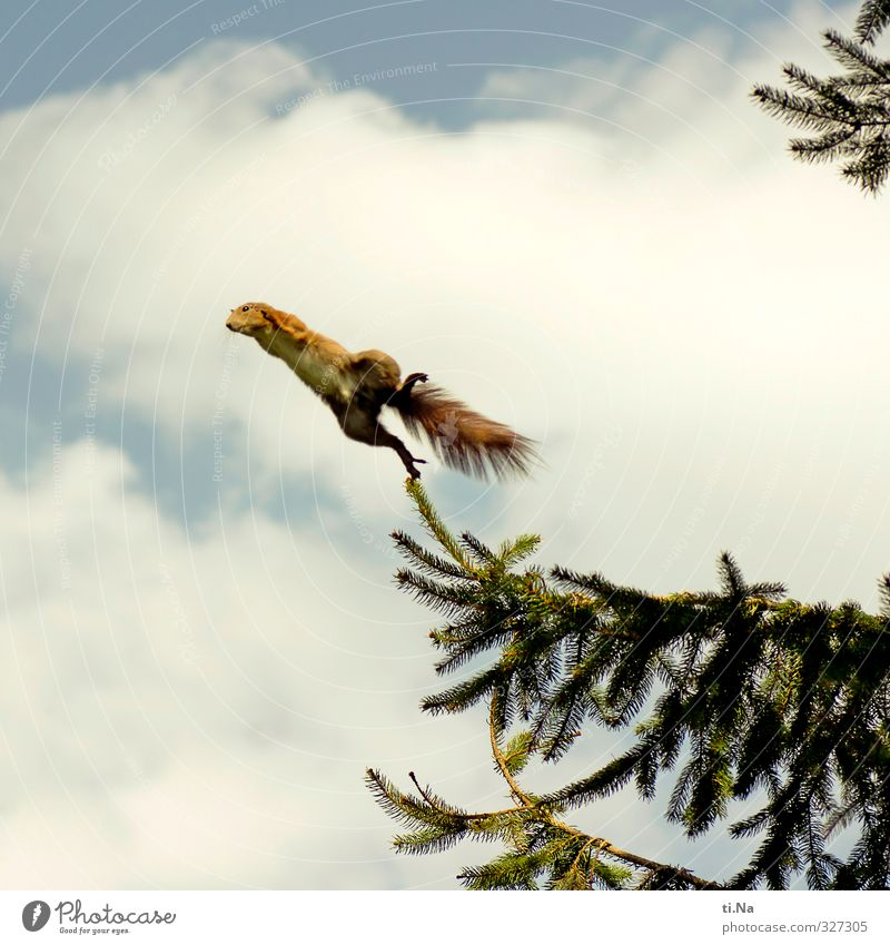 500 is better to fly than to fly. Sky Clouds Beautiful weather Tree Fir branch Garden Wild animal Squirrel Flying Jump Athletic Elegant Free Cute Blue Brown