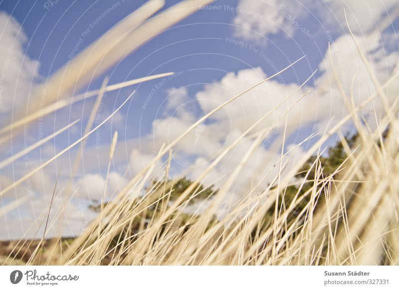 Rømø, like in the wind. Nature Clouds Beautiful weather Grass Bushes Wild Soft Wind Common Reed Marram grass Dune Upward Colour photo Exterior shot Deserted Day
