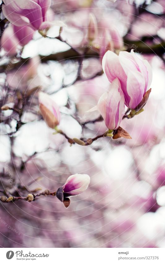 feminine Environment Nature Plant Spring Flower Blossom Natural Pink Magnolia plants Magnolia blossom Colour photo Exterior shot Macro (Extreme close-up)