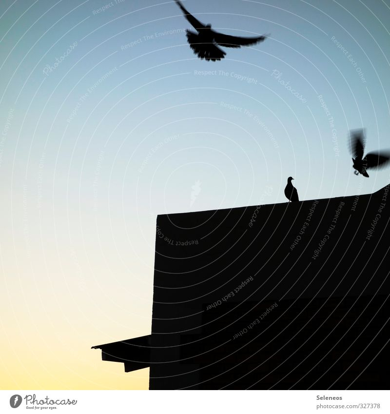 All pigeons fly high Trip Environment Nature Animal Sky Cloudless sky Wild animal Bird Wing 3 Flying Pigeon Movement House (Residential Structure) Roof