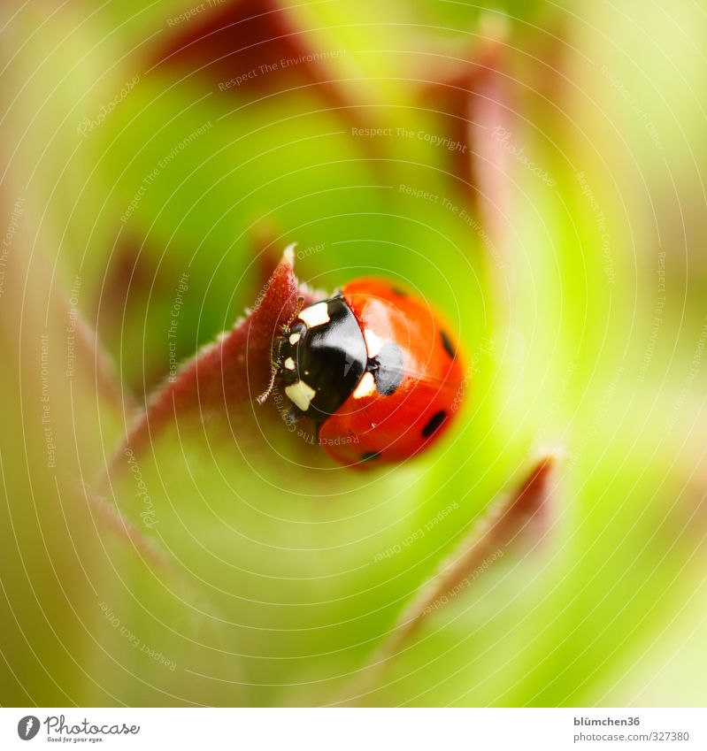 In the face of happiness Animal Wild animal Beetle Animal face Wing Seven-spot ladybird Ladybird Insect 1 Crawl Walking Sit Small Natural Round Green Red Black
