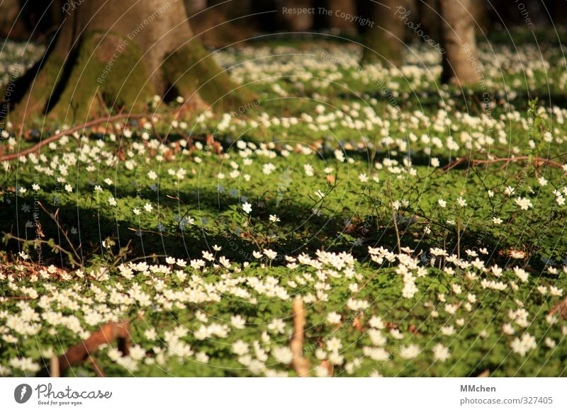 self-evident Nature Landscape Plant Earth Tree Forest Blossoming Bright Beautiful Brown Green White Spring fever Wood anemone Woodground Root vegetable