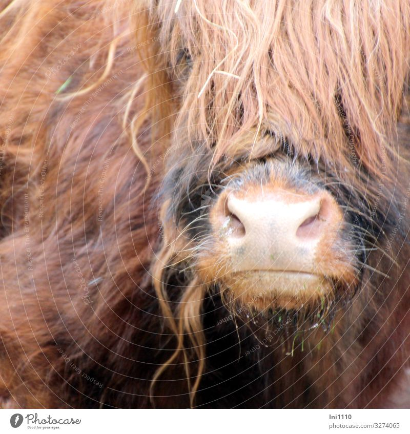 Muzzle and partial view of the head of Scottish Highland Cattle Pet Farm animal Wild animal Cow 1 Animal Brown Gray Pink Black Highland cattle Snout Nostrils