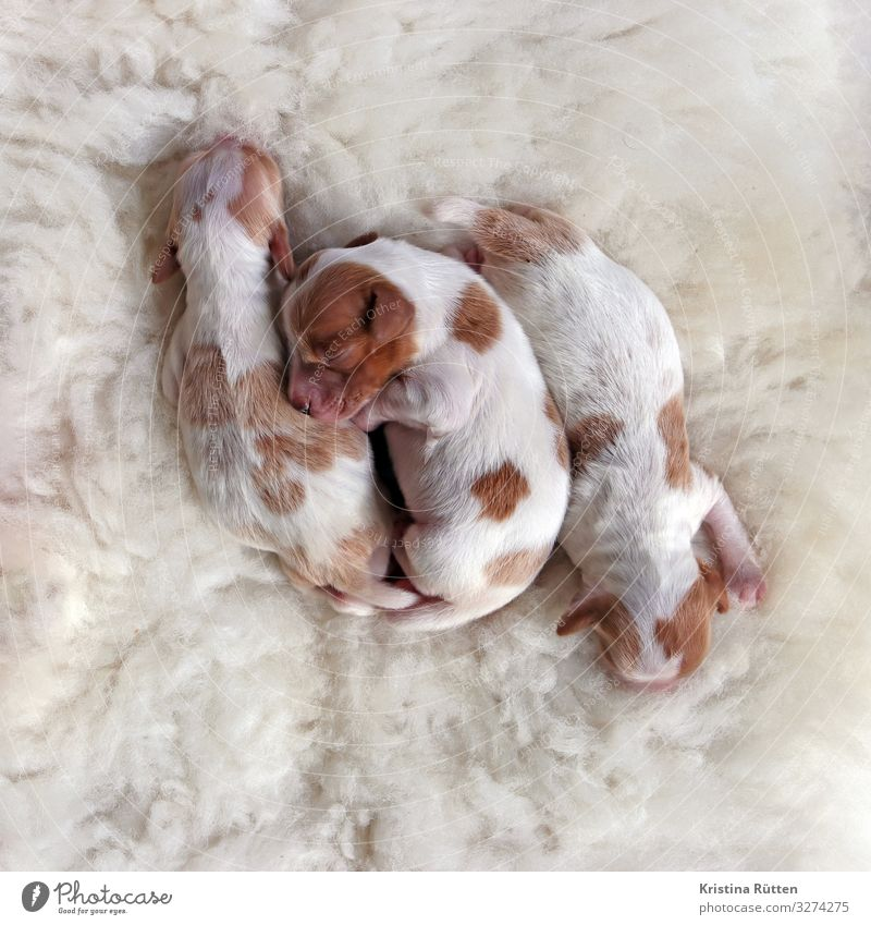 welpenest Animal Pet Dog 3 Group of animals Baby animal Animal family Sleep Cuddly Small Cute Warmth Soft Attachment Puppy Newborn litter Livestock breeding