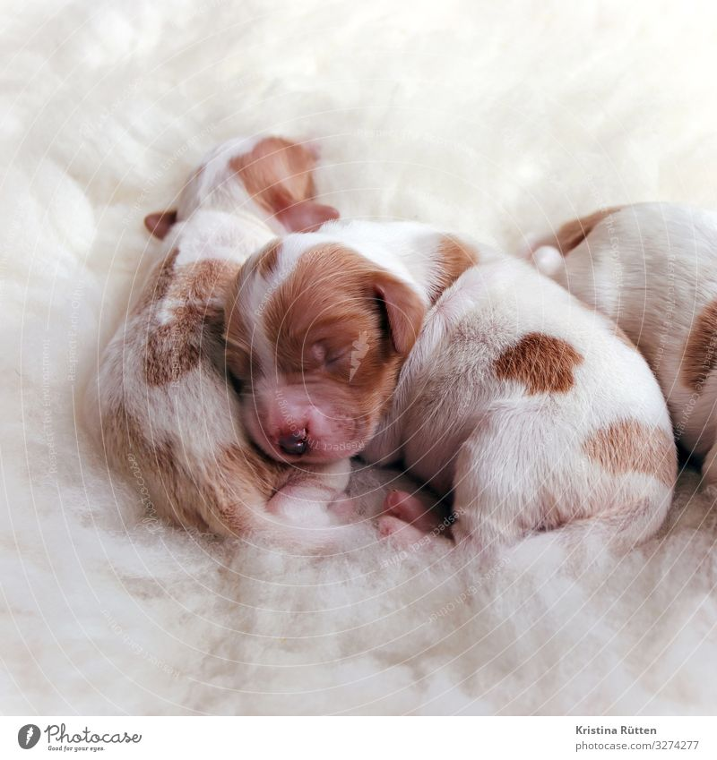 cuddly puppies Animal Pet Dog Baby animal Animal family Cuddly Small Cute Warmth Soft Puppy Newborn litter Livestock breeding Breed Purebred