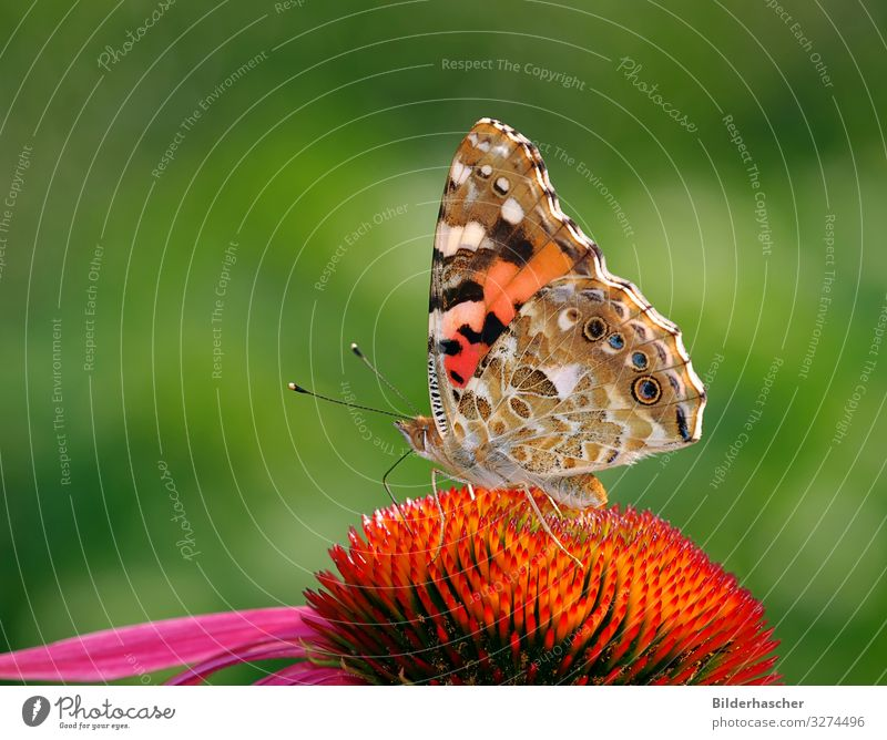 Thistle butterfly on Echinacea purpurea Painted lady Butterfly Rudbeckia Purple cone flower Blossom Flower Noble butterfly butterflies Insect Summerflower