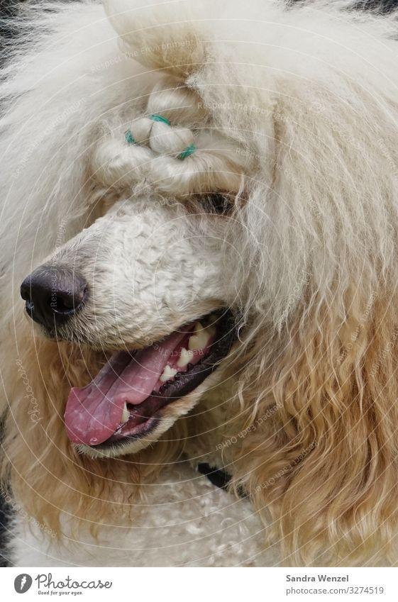Dog Animal Exceptional Poodle