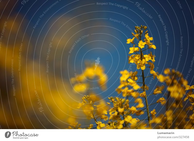 flower power Environment Cloudless sky Summer Beautiful weather Plant Agricultural crop Canola Oilseed rape flower Canola field Oilseed rape cultivation Field