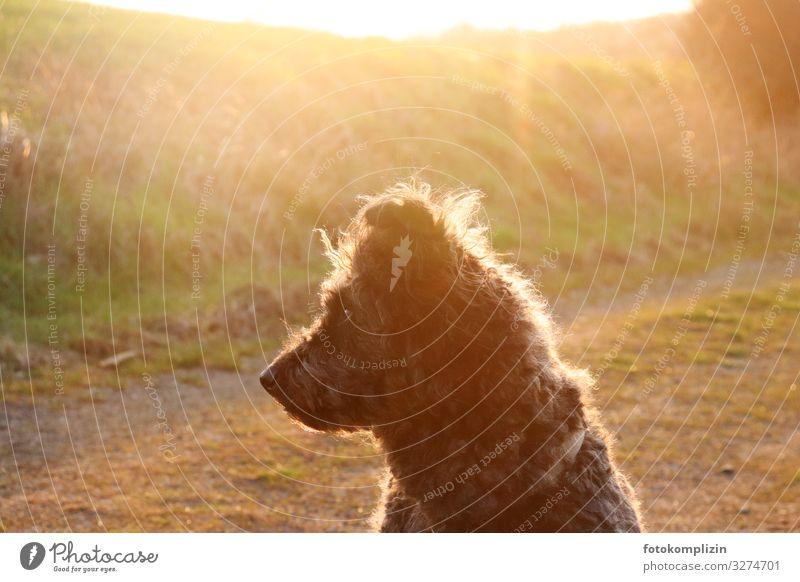 Dog in the light Sunlight Pet Pelt Herding dog 1 Animal Observe Listening Sit Warmth Gold Moody Love of animals Attentive Watchfulness Calm Curiosity