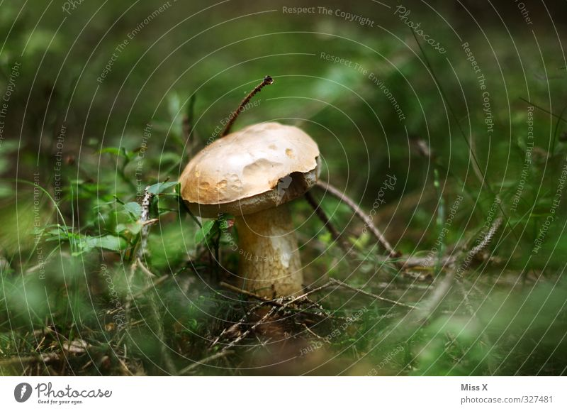 Season Food Nutrition Autumn Grass Forest Growth Mushroom Woodground Boletus Cep Exterior shot Close-up Deserted Copy Space left Copy Space right Copy Space top