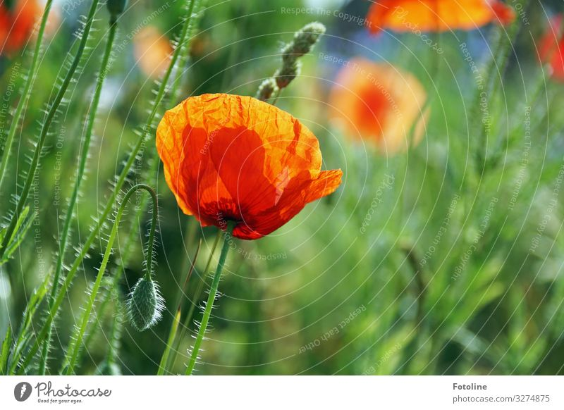 Nature Summer Plant Green Landscape Red Flower Warmth Environment Blossom Meadow Bright Park Field Bud Poppy field
